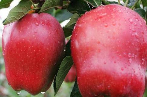并称世界3大苹果,日本红富士美国蛇果,中国唯1驰名商标?