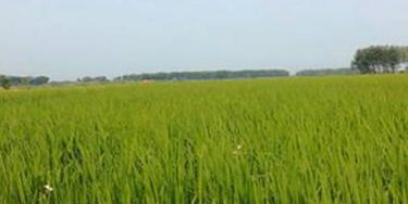 泰来县四间村黄金水稻